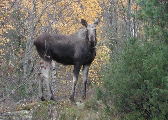 Elg fotografert på Nesodden